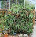 Aloe camperi Plant.jpg