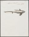 Alopecias vulpes - 1700-1880 - Print - Iconographia Zoologica - Special Collections University of Amsterdam - UBA01 IZ14100085.tif