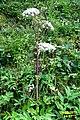 Alpine flora - umbellifer tbi (Mit) (37896211871).jpg
