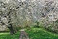 Alte Kirschbäume.jpg