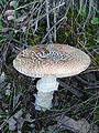 Amanita pantherina 2007.JPG