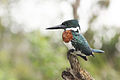 Amazon kingfisher male.JPG