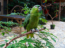 Amazona farinosa -Macaw Mountain Bird Park-8a.jpg