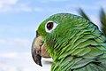Amazona sp. (14529798965).jpg
