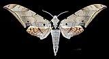 Ambulyx sericeipennis sericeipennis MHNT CUT 2010 164 Doi Inthanon Chiang Mai Thailand male dorsal.jpg