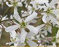Amelanchier canadensis flower.jpg
