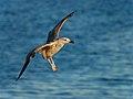 American Herring Gull Juvenile landing.jpg