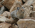 American Pika (Citizen Science) (4428171606).jpg
