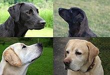 Labrador Retriever - The complete information and online