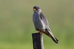 Amur falcon, Falco amurensis, male at Eendracht Road, Suikerbosrand, Gauteng, South Africa (25817219562).jpg