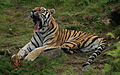 Amur tiger yawning widescreen.jpg