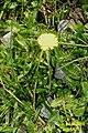 An alpine hawkweed (Gru) (31590532350).jpg