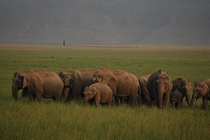 English: An Asian Elephant herd at Jim Corbett...