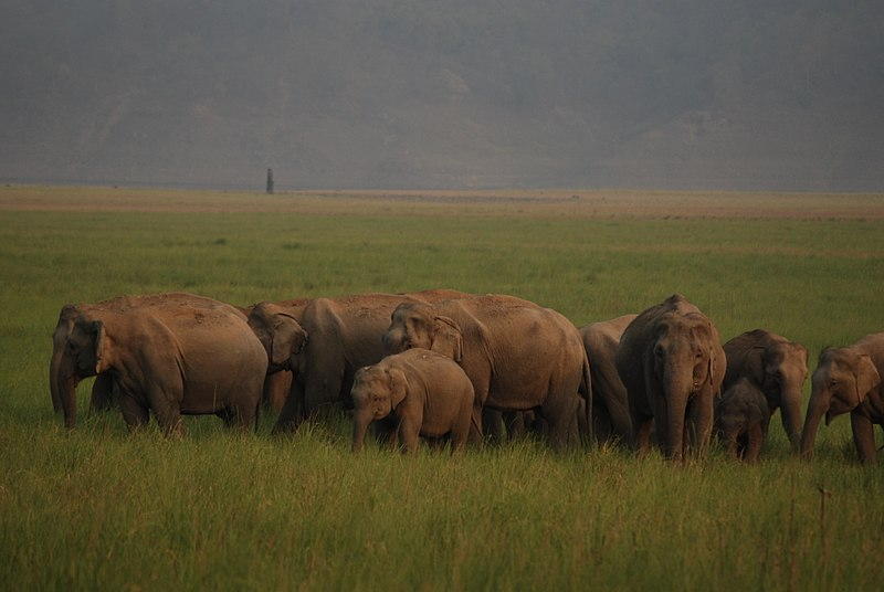 File:An elephant herd at Jim Corbett National Park.jpg