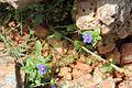 Anagallis arvensis PM1.jpg