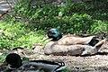 Anas platyrhynchos male (09).jpg
