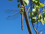 Anax junius-Female-2.jpg
