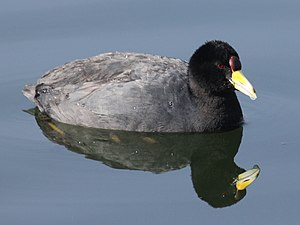 Andean coot - Image: Andean Coot RWD3