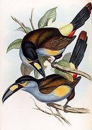 Andigena laminirostris-Gould