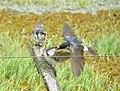 Andorinha-de-testa-branca (Tachycineta leucorrhoa).jpg