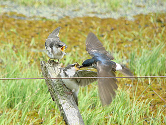 White-rumped swallow - Juveniles being fed by adult in flight