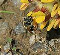 Andrena (Taeniandrena) wilkella - female - Flickr - S. Rae (1).jpg
