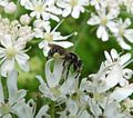 Andrena subgenus Micrandrena sp. female - Flickr - gailhampshire.jpg