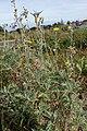 Andryala pinnatifida kz14.jpg