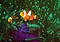 Anemonenfisch.jpg
