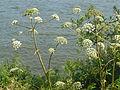 Angelica heterocarpa 1.jpg