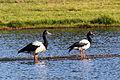 Anseranas semipalmata -Edithvale Wetlands, Melbourne, Victoria, Australia -two-8.jpg