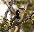 Anthracoceros coronatus -Wilpattu National Park, Sri Lanka-8 (1)-3c.jpg