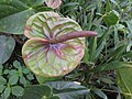 Anthurium andraeanum hybrid-3-hrs-yercaud-salem-India.jpg
