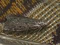 Aphomia sociella ♀ - Bee moth (female) - Огнёвка восковая (самка) (41201646381).jpg