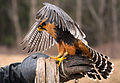 Aplomado Falcon in training for falconry.jpg