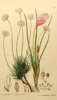 <i>Laxmannia</i> genus of plants