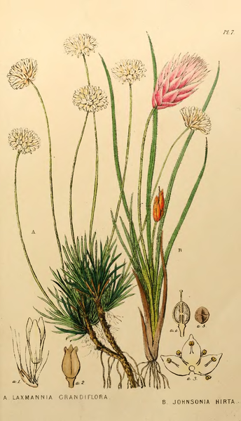 File:Appendix to the first twenty-three volumes of Edwards's Botanical Register - Plate 7.png