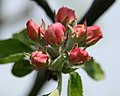 Apple flowers about to blossom - geograph.org.uk - 778130.jpg
