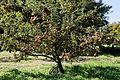 Apple tree at Feeringbury Manor garden, Feering Essex England.jpg