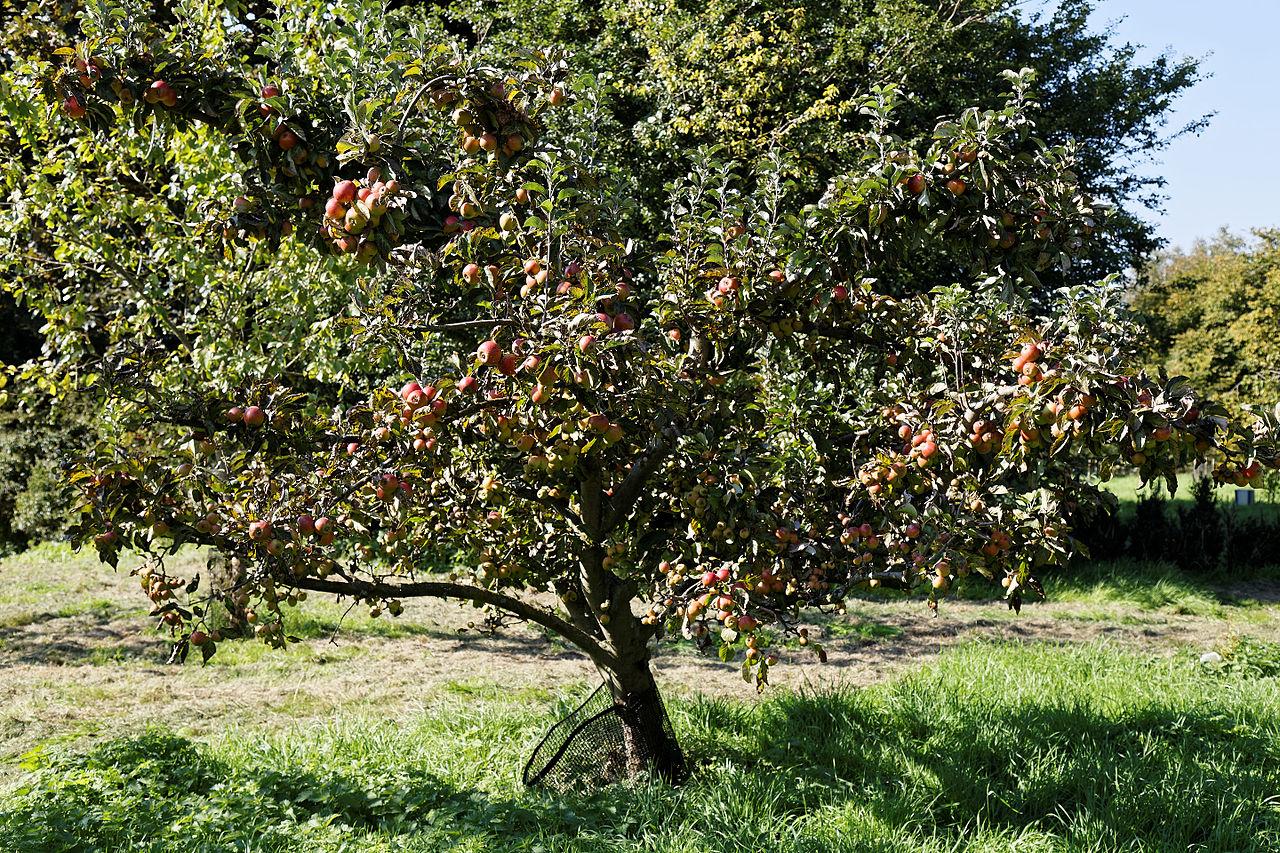 File Apple Tree At Feeringbury Manor Garden  Feering Essex