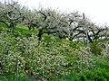 Apple trees in Val di Non - panoramio (1).jpg