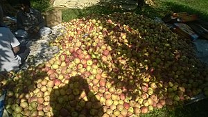 Ganderbal district - Image: Apples of Ganderbal