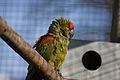Ara rubrogenys -Twycross Zoo-6.jpg