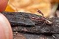 Arachnida, Pseudoscorpiones, Neobisiid pseudoscorpion, with scale (4032674427).jpg