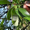 Araneus mitificus sanctuary.jpg