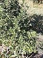 Arbuste méditerranéen à identitfier3.jpg