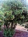 Arbutus unedo Plant DehesaBoyaldePuertollano.jpg