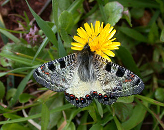 Swallowtail butterfly - Image: Archon apollinus bellargus 1