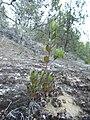 Arctostaphylos sensitiva seedling - Flickr - theforestprimeval.jpg