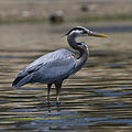 Ardea herodias, Coleman Beach - by Mike Baird.jpg